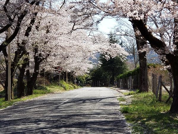 蓬莱島公園の桜
