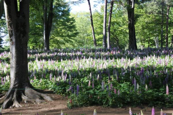 森林公園 ルピナス畑
