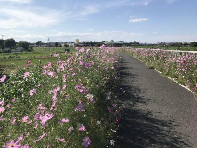 コスモスの咲く散歩道
